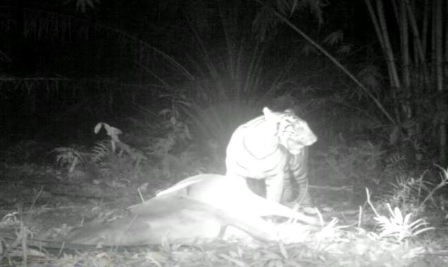 Antisipasi Konflik Harimau dan Hewan Ternak, BBKSDA Pasang Dua Perangkap